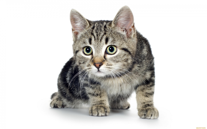 Обои серый фон, Девочка, Коты, кошки. Разное foto 7